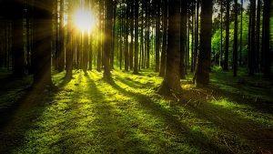 beech-wood-tree-uses