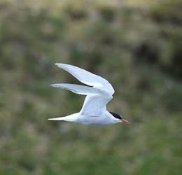 antarctic-tern-flying