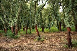 cork-oak-trees-in-sardinia